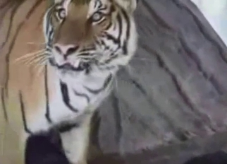 Tiger fucked his girlfriend in the zoo