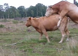 Two wild cows have nice sex in forest