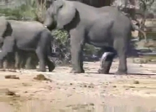 Wild elephants having amazing sex