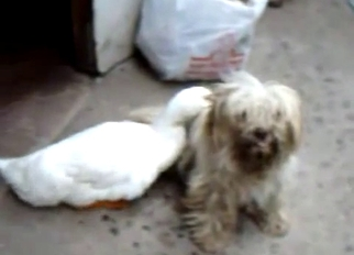 Cute duck is trying to fuck a dog