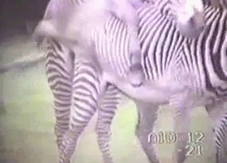 Zebra has a very massive hard boner