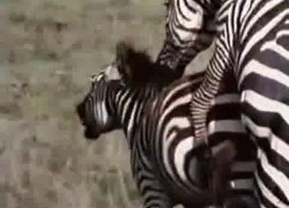 Stunning zebras having amazing zoophile sex
