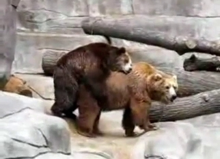 Two real bears have amazing sex in the zoo